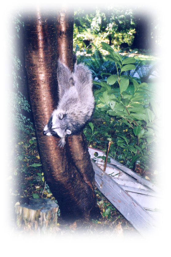 Tree trapped raccoon