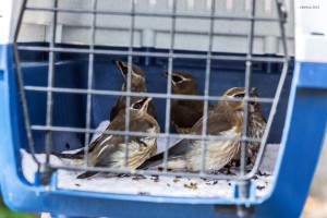 5-cedar-waxwings-awaiting-release