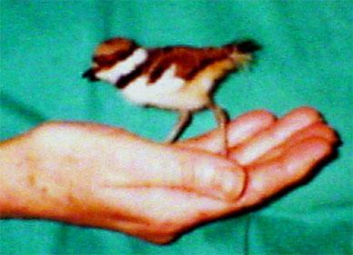 Nestling Killdeer Found in Sargent Bay