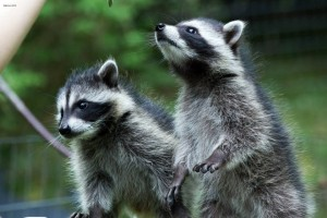 raccoon-kits-2