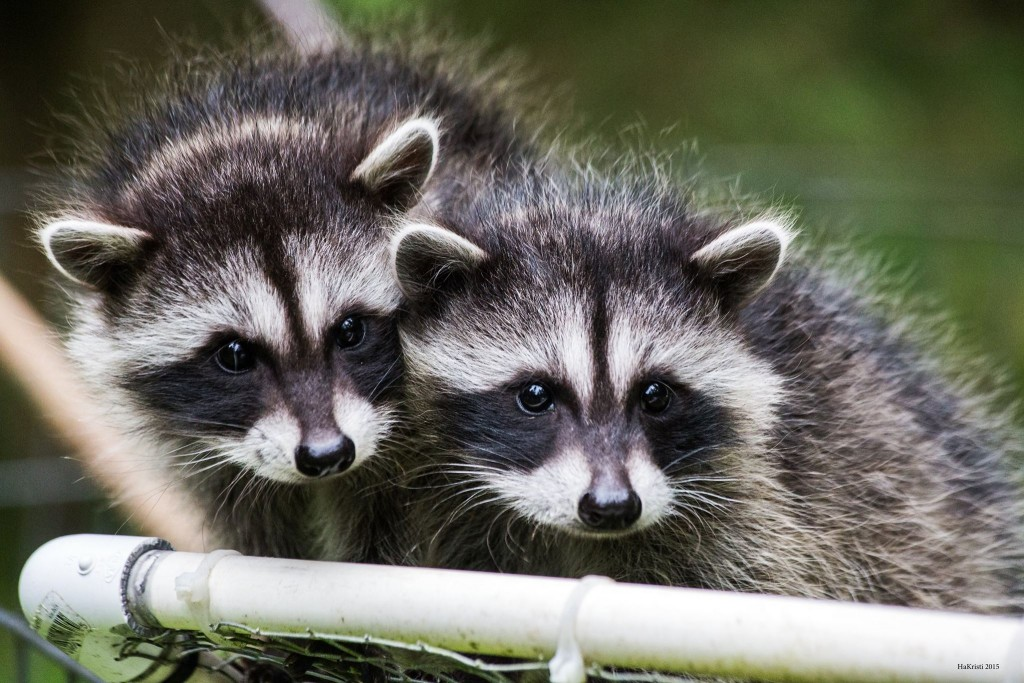 young-raccoons