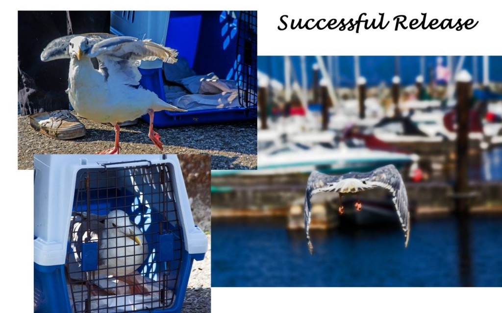 Rehabilitated Gull Released Back into the Wild