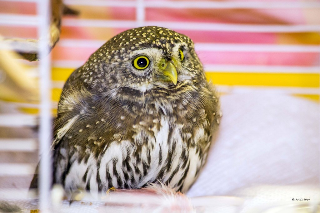 Pigmy Owl in Care