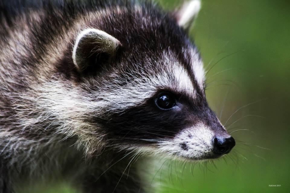 Raccoon Kit in Care