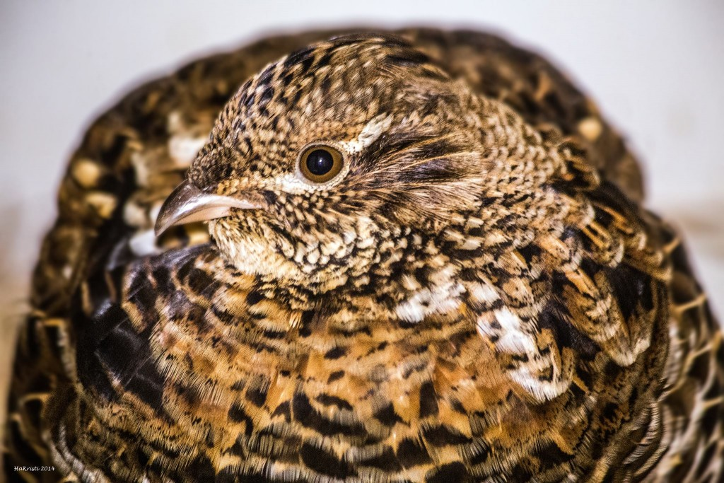 Ruffed Grouse in Care