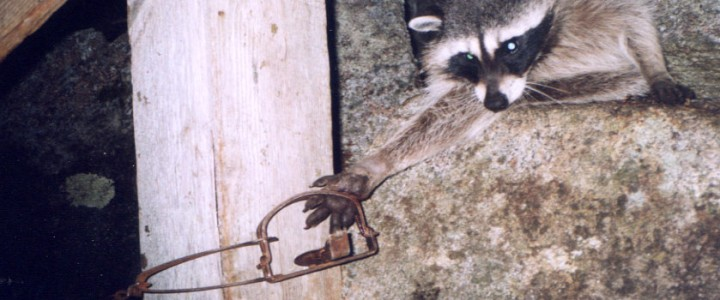 Raccoon Caught in Leg-Hold Trap